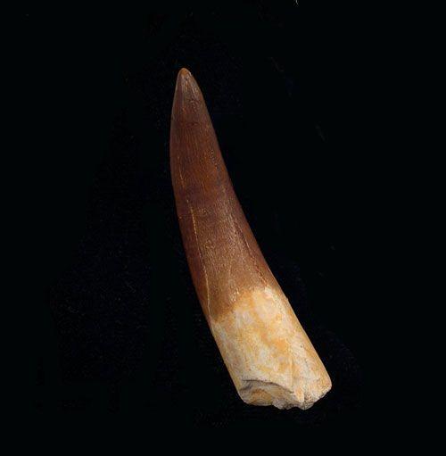 Plesiosaurus Tooth